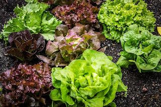 Different types of lettuce growing in black earth.