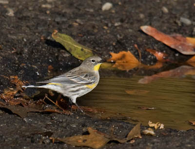 Photo of Yellow-rumped Warbler at water puddle
