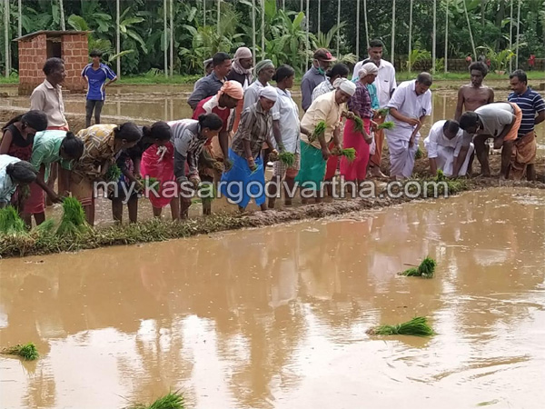 Kerala, News,  Paddy Cultivated in periya