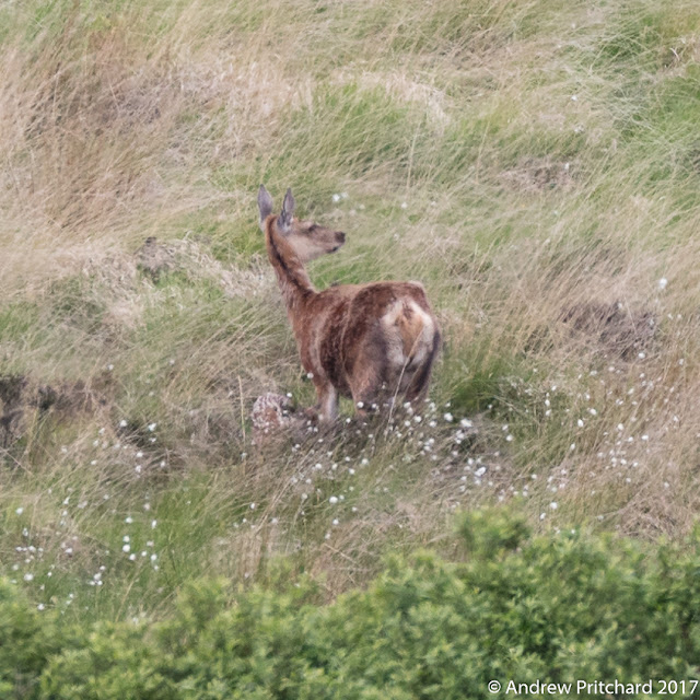 The hinds has a new born calf lying in the grass at her feet.