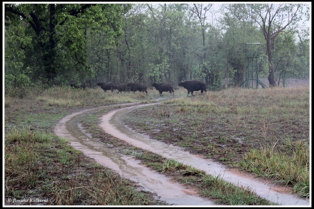 Bison in Monsoon at Zhari zone (TATR)