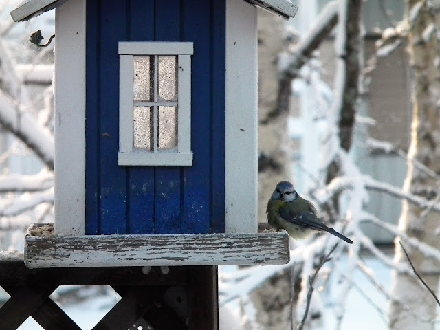 sinitiainen, talvi, aurinko