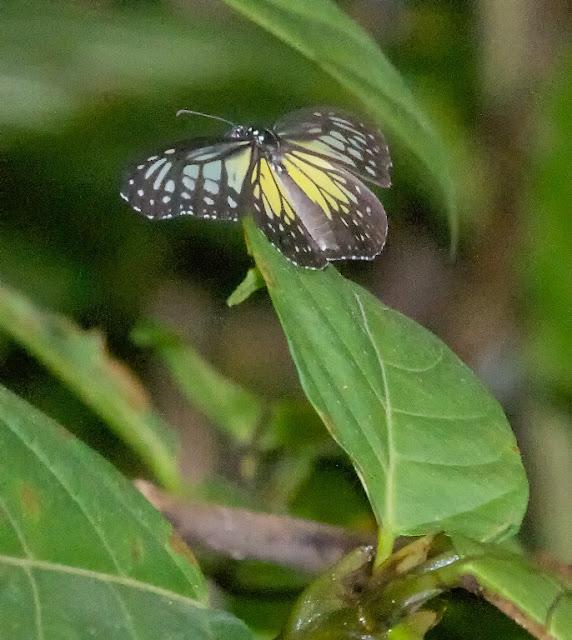 Yellow Glassy Tiger ((Parantica aspasia)