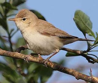 Suara burung isabelline warbler