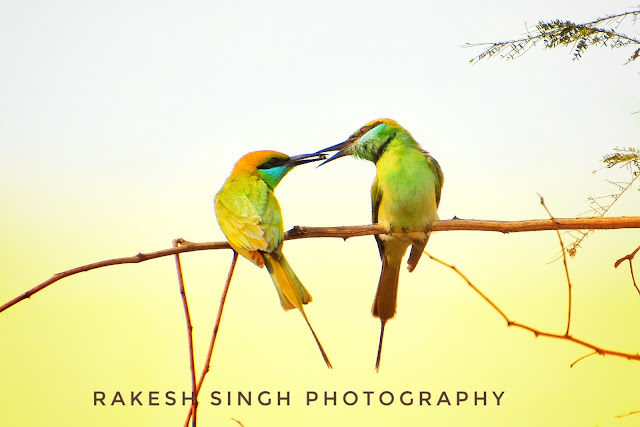 Green bee- eater (3 images)