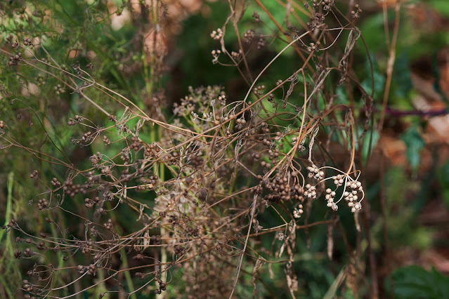 coriander-seeds-on-a-drying-plant.jpg