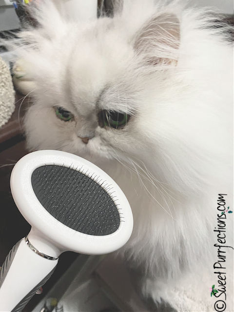 Silver shaded Persian cat, Brulee, with a slicker brush
