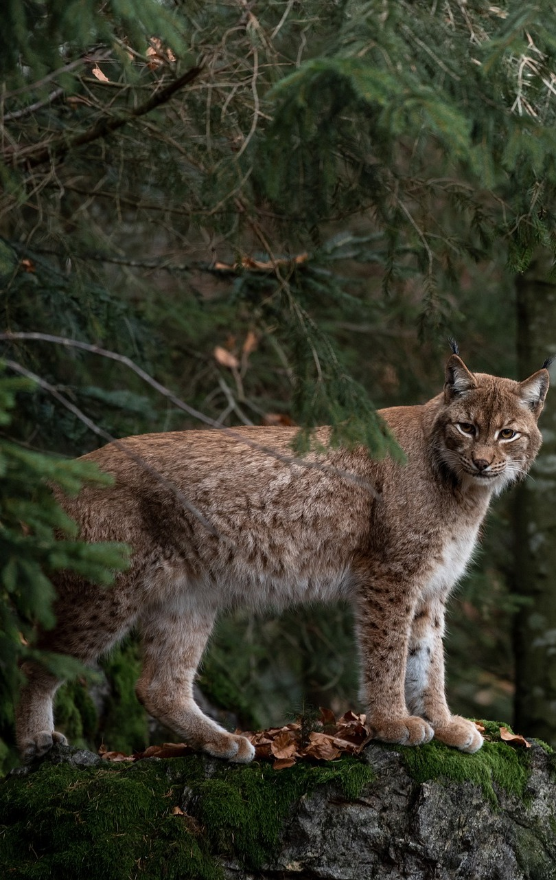 Picture of a bobcat.