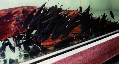 Ikan Black Ghost