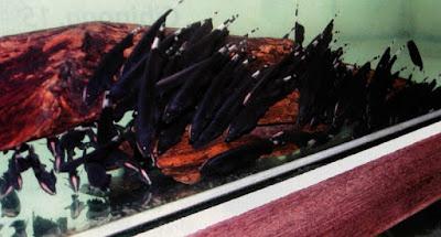 Ikan Black Ghost