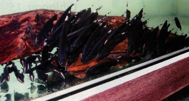 Potensi Dan Peluang Bisnis Eksport Import Ikan Hias Untuk Pehobiis Lokal