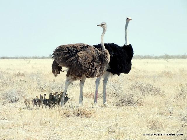 familia de avestruces