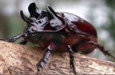 Cara Mengendalikan Kumbang Tanduk Pada Tanaman Kelapa Sawit