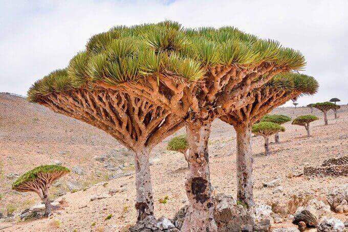 Dracaena cinnabari (Dragon tree)
