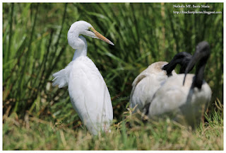 https://bioclicetphotos.blogspot.fr/search/label/Grande%20Aigrette%20-%20Ardea%20alba%20KNY
