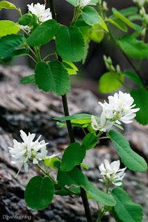 Saskatoon a.k.a. Serviceberry