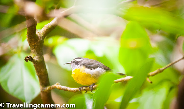 Birding, Birds, Costa Rica, Monteverde, Papagayo peninsula, Flycatcher, Bananaquit, Slaty Flowerpiercer, Black-faced solitaire, Great Egret, Yellow-olive flatbill, Costa Rica is indeed a birders' paradise. With 919 registered species as of November 2018, the country has a vast variety of species spread everywhere. Many of these are colorful and incredibly beautiful. They come in all sizes and some have calls that are musical, others sing haunting songs. If you happen to go into a cloud forest, you can hear a three-wattled bellbird's bell-like call echoing around. However, it is not easy to spot this bird. We couldn't either, though we heard it everywhere. Gray-capped flycatcher. With nearly 75 species of Tyrant flycatchers and 4 more of Royal flycatchers, you cannot go anywhere in Costa Rica without coming across at least 5 different types. We have already covered the Great Kiskadee and Western Kingbird in the previous post of this series. In this post, we will talk about two more types - the gray-capped flycatcher and the golden-bellied flycatcher. The gray-capped flycatcher is a member of the Tyrant flycatcher family, and is visually very similar to the social flycatcher. In fact the gray-capped flycatcher at times uses the nests abandoned by social flycatchers. The nesting sites are either close to or over water bodies, where food is abundant. Golden-bellied flycatcher. Another tyrant flycatcher, the golden-bellied flycatcher is also known as the golden-bellied greygone. found at the edge of wet forests in the highlands. the golden-bellied flycatcher usually perches on high tree canopies or power cables and catches insects in mid-air. However, it also feeds on a variety of other stuff such as berries.  Brown Jay. In this photograph, a brown jay is perched on a leafless branch. The jay belongs to the same group as magpies, but has shorter tail and larger bill than magpies. Most adults have black bills, brown wings and lighter (often white) lower parts. The brown j