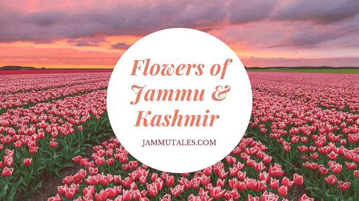 Flowers of Kashmir Valley