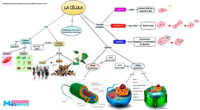 Mapa conceptual de la célula para niños