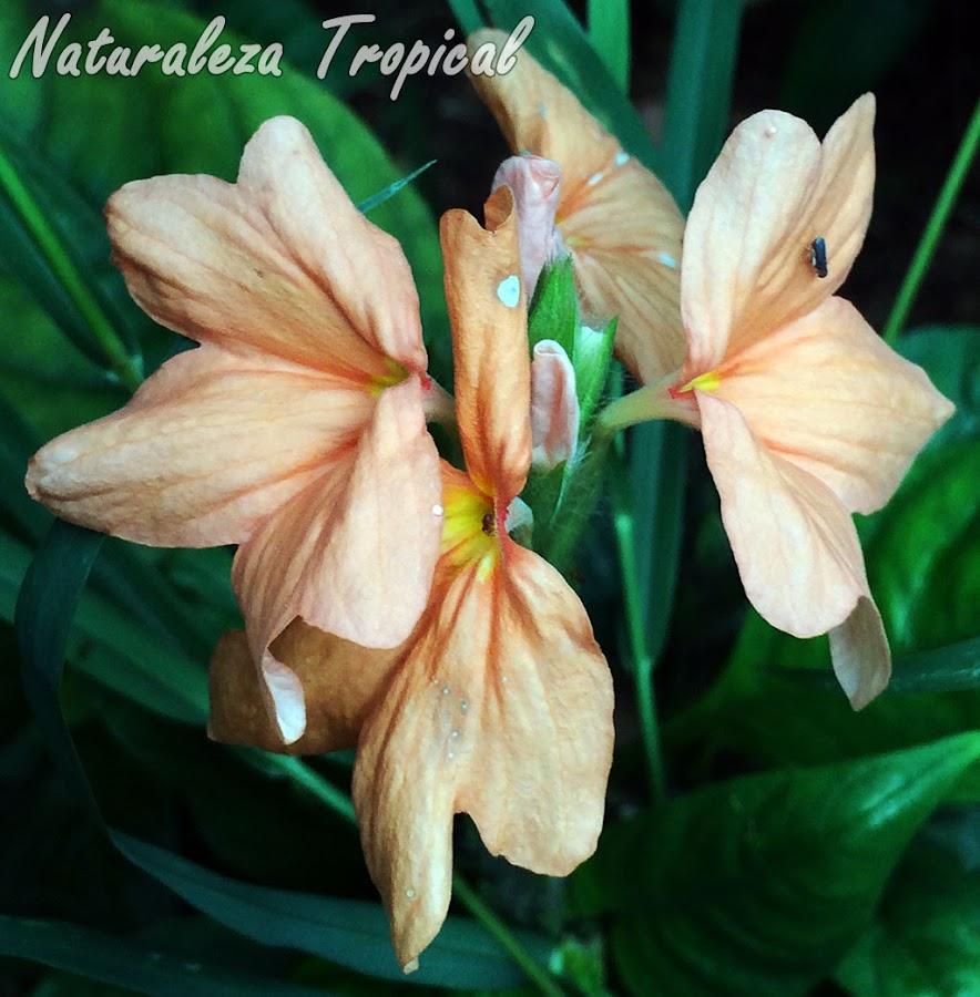 Detalles de las flores de la Justicia o Cosandra, Crossandra infundibuliformis