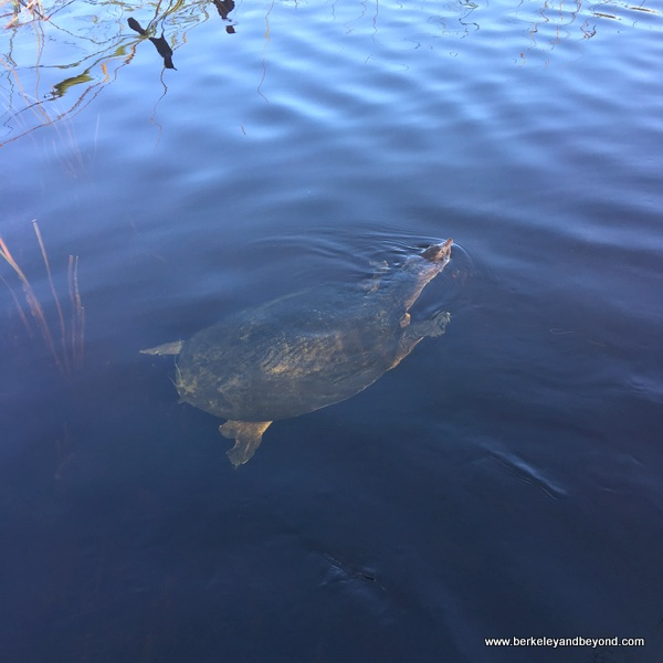 sea turtle at Sawgrass Recreation Park in Weston, Florida