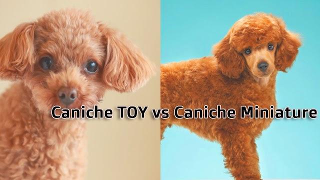 Caniche TOY vs Caniche Miniature - Pouvez-vous Découvrir les différences?