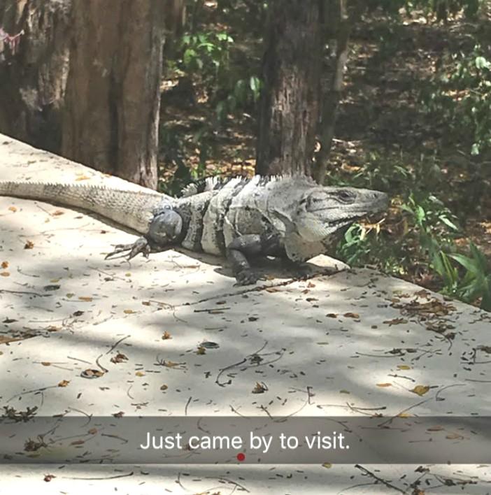 Cozumel - iguana