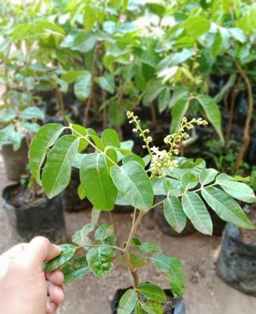 bibit tanaman buah kelengkeng matalada BERBUNGA SIAP BERBUAH Bangka Belitung