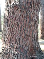 Maritime pine bark close up - Hagley Park, Christchurch, New Zealand