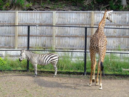 giraffe and zebras