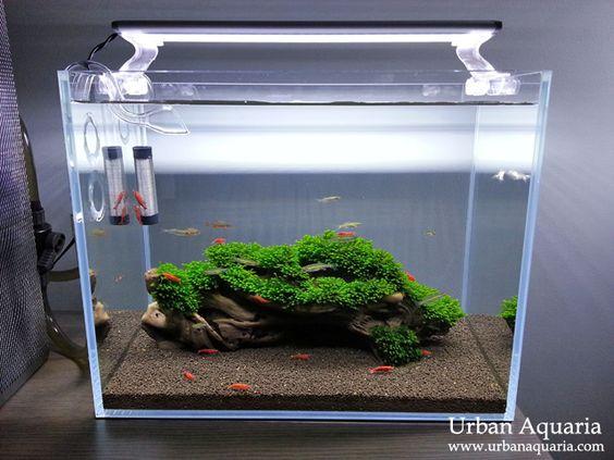 Hồ thủy sinh nuôi tép với khúc lũa buộc rêu mini fiss