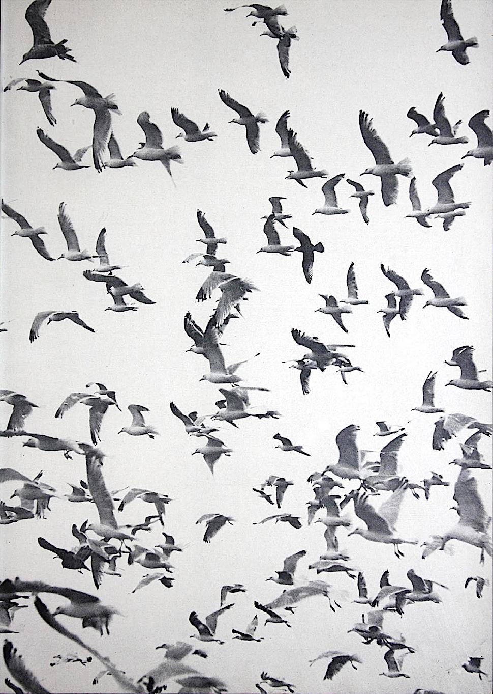 a 1950 photograph of birds in flight, a flock of gulls
