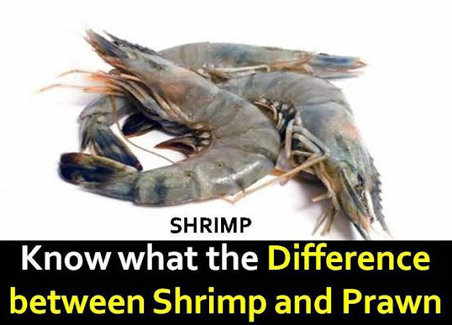 shrimp and prawn difference
