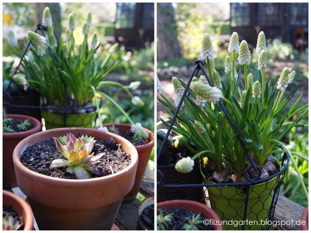 Frühlingsblüher Muscari und Sempervivum Rosie im Topf
