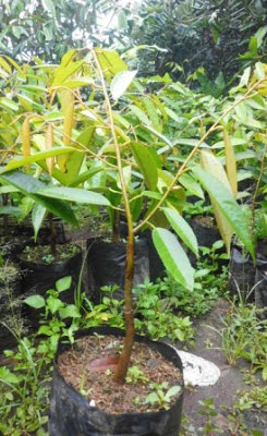DH4 Durian