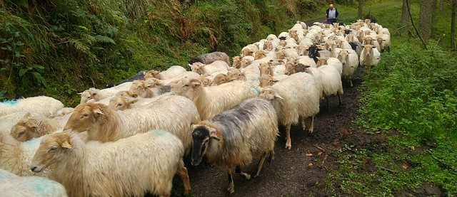 A herd of sheep all following each other