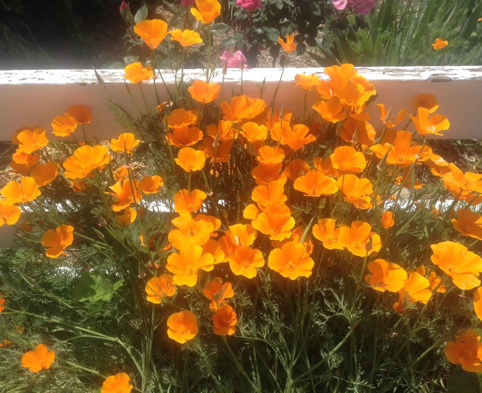Theawakenedsoul California Poppies Celery Pink Roses And More