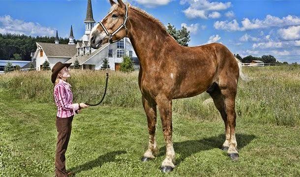 ม้าที่สูงที่สุดในโลก