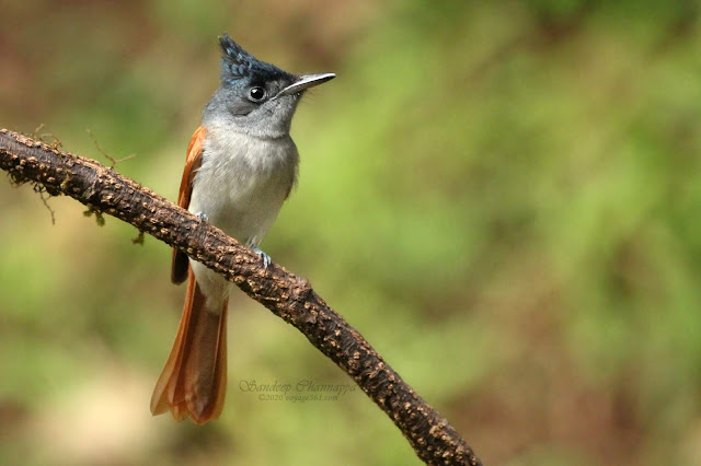 Female Indian Paradise-Flycatcher