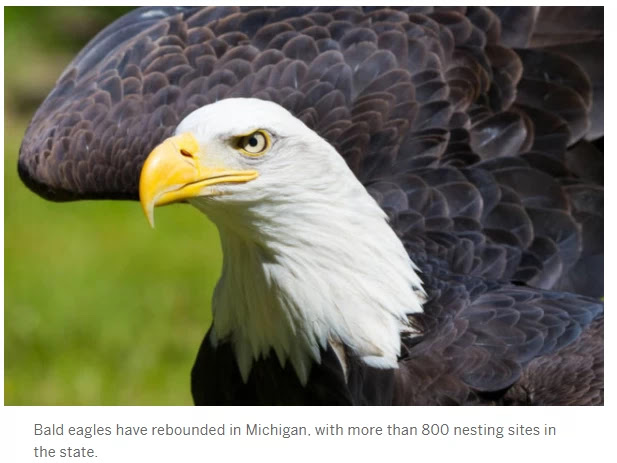 Bald Eagle in UP attacks 50 950$ drones in the state and sends bottom them to Lake Michigan