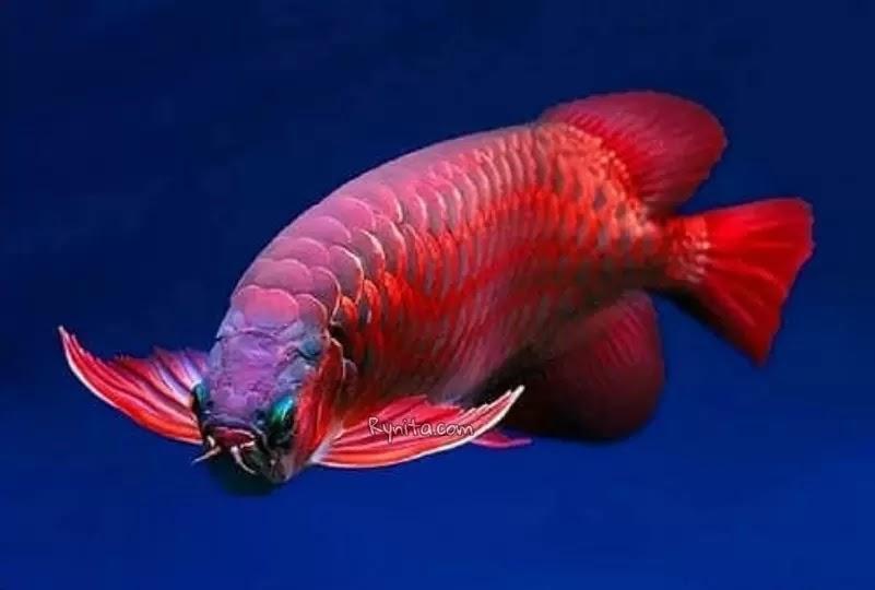 6 Makanan Ikan Arwana Biar Cepat Besar