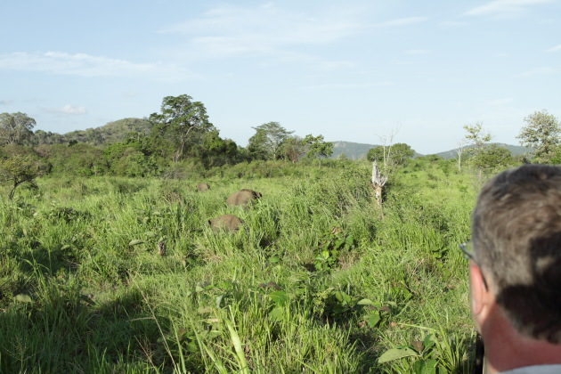 Watching a young herd of elephants graze in the grasslands of Minneriya National Park, Srilanka