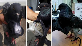 pigeon caught for smuggling drugs