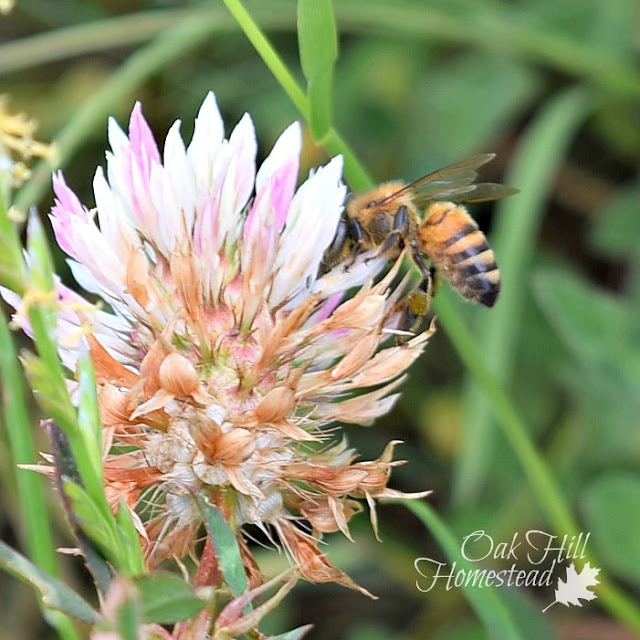 A bee on clover in the horse pasture.
