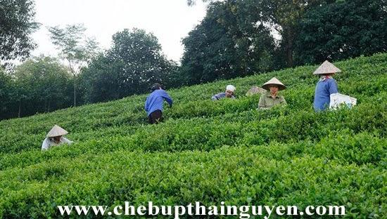 vùng trà khe cốc thái nguyên