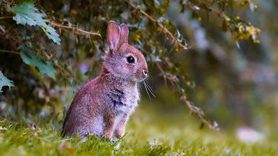 Rabbit Cub Free HD Wallpaper