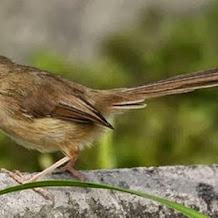 Cara Melatih Mental Burung Ciblek Gunung Untuk Di Lombakan