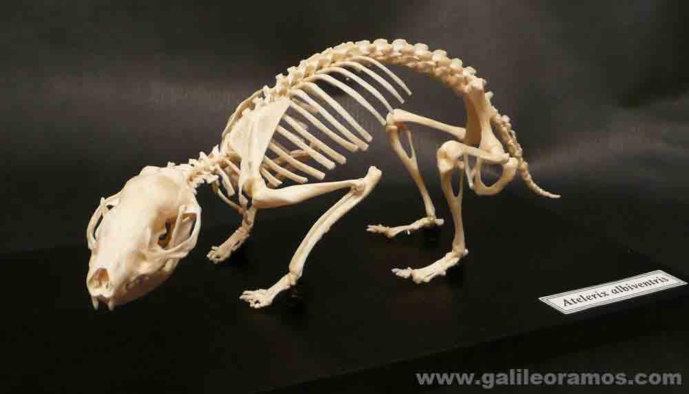 Esqueleto de un erizo de tierra de costado