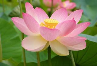 fior di loto, simbolo di rinascita