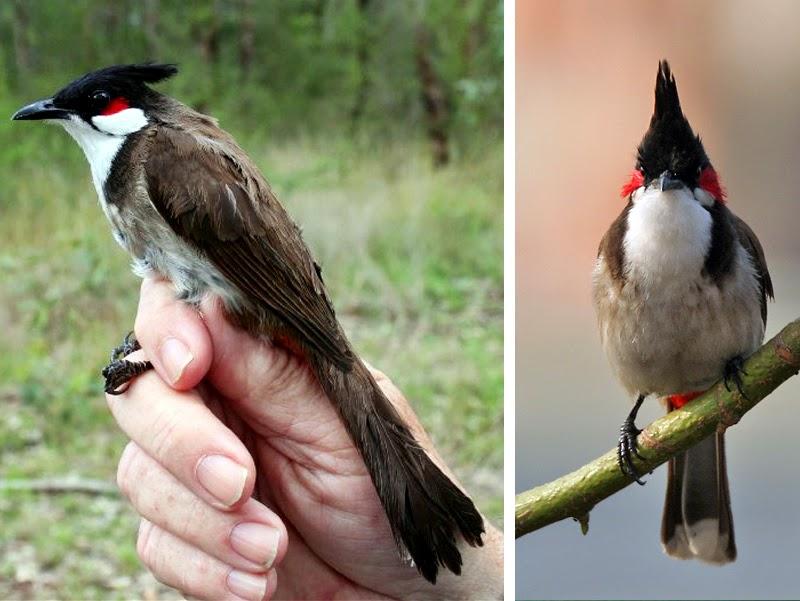 Kumpulan Foto Burung Kutilang Malaysia Terbaik Foto Burung Kicau
